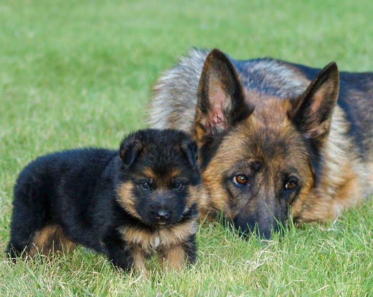 German Shepherd Puppy In 2020 German Shepherd Puppies German Shepherd Kennels German Shepherd