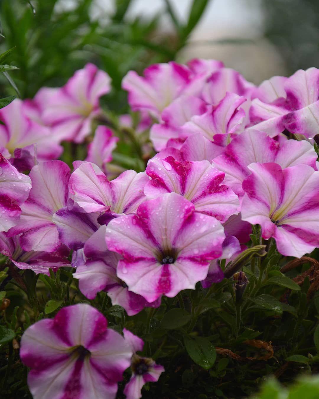 Petunien Rosa Petunien Regen Pflanzen Blumen With Images