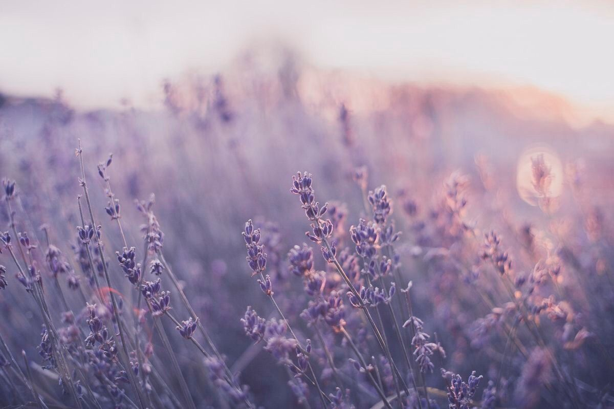 Pin By Puppie On Ayni Lavender Aesthetic Purple Aesthetic Flower Aesthetic
