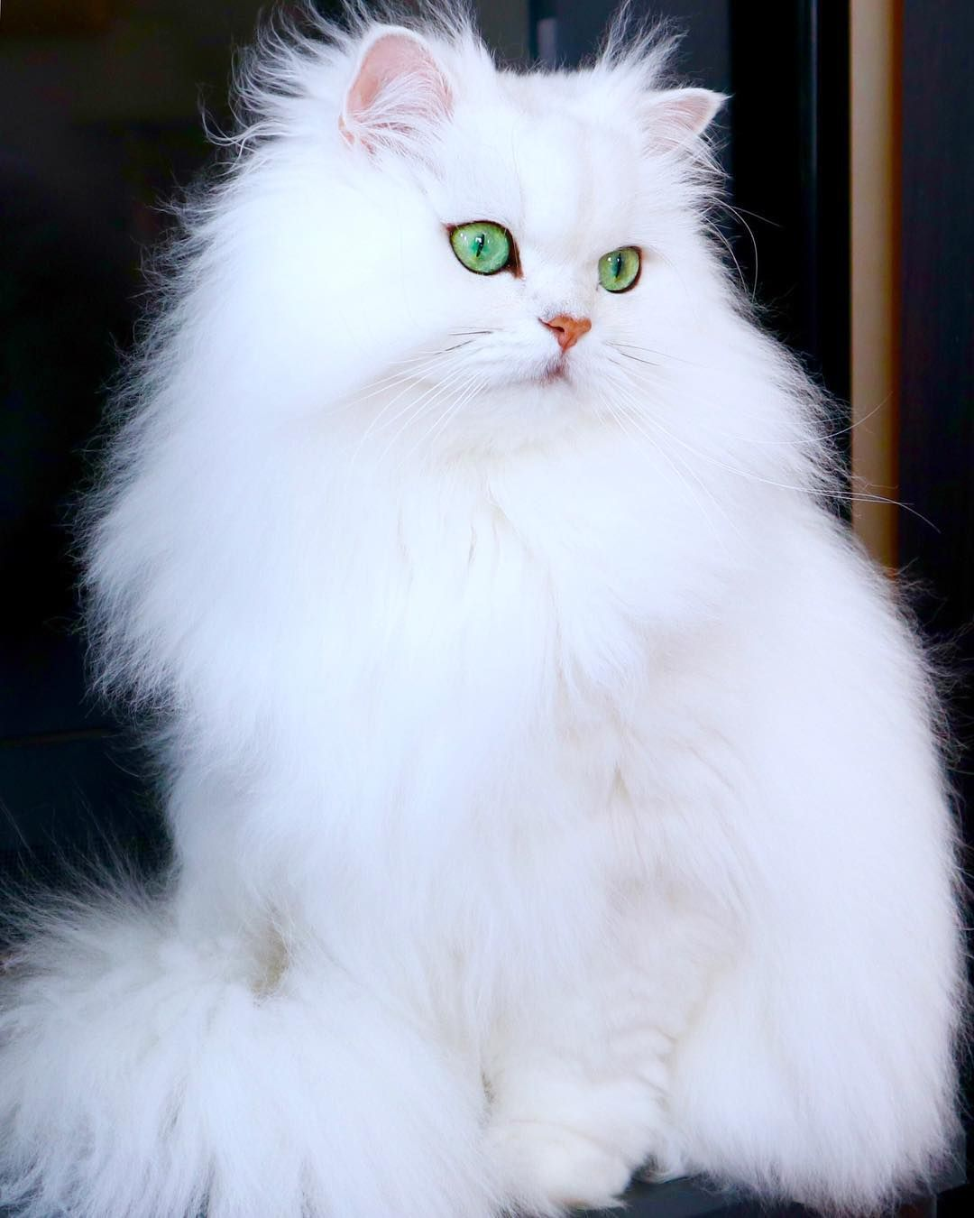 Beautiful very fluffy white cat with light blue eyes cat