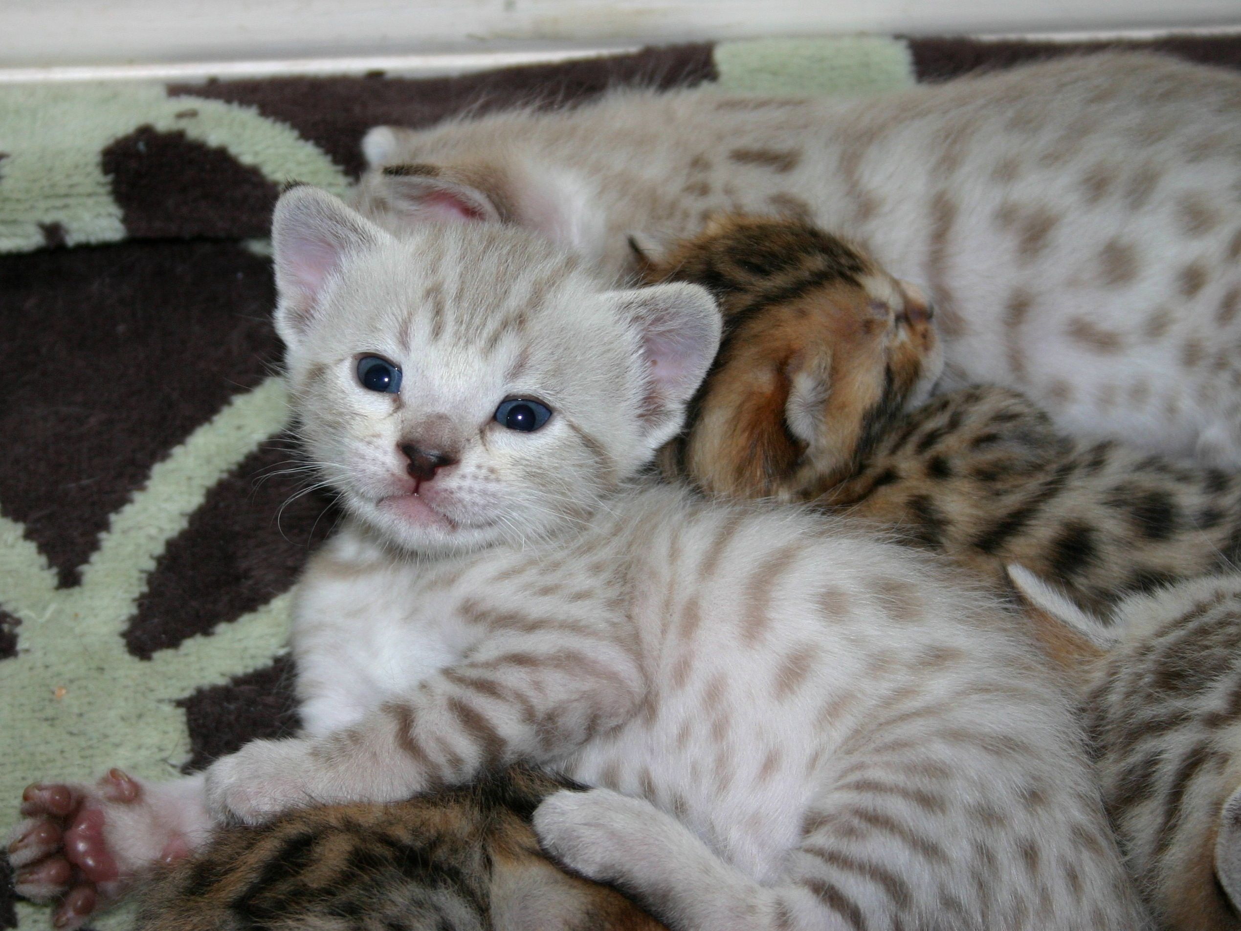 Snow Bengal kittens | Felines | Pinterest | Bengal kitten, Bengal ...