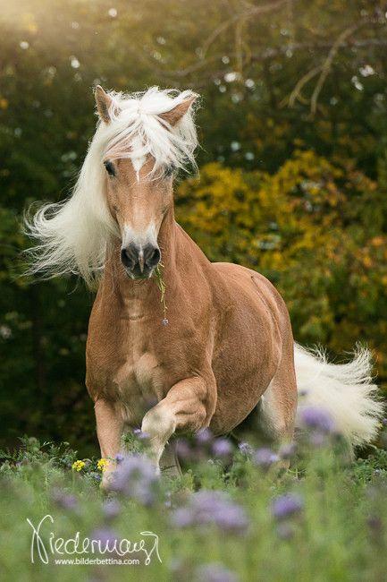 pin von kat niss auf animals horses haflinger horse und. Black Bedroom Furniture Sets. Home Design Ideas