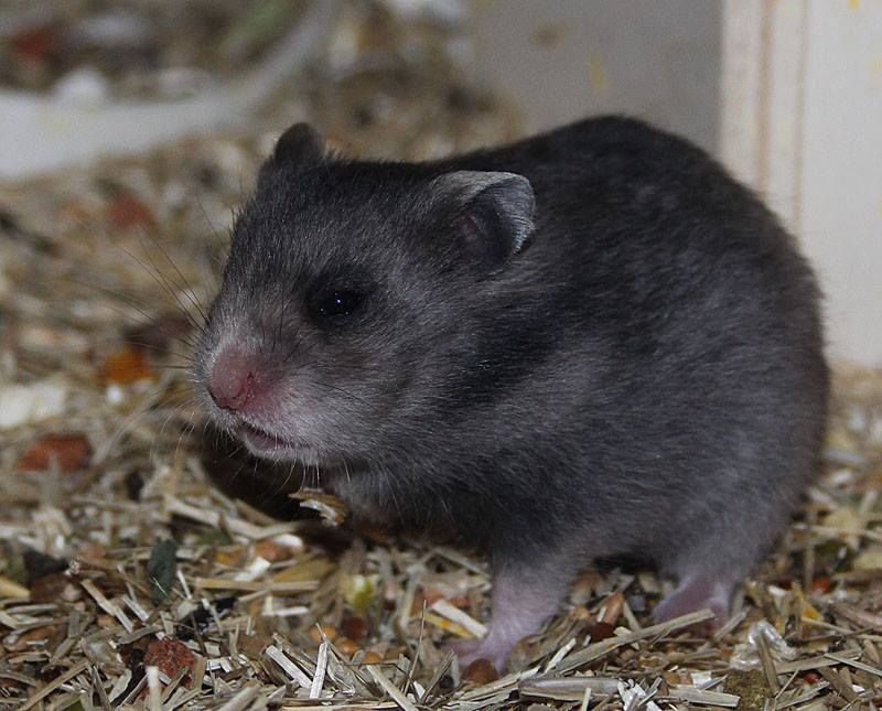 Dark Grey Umbrous Sh Syrian Hamster Pet Rodents Animals