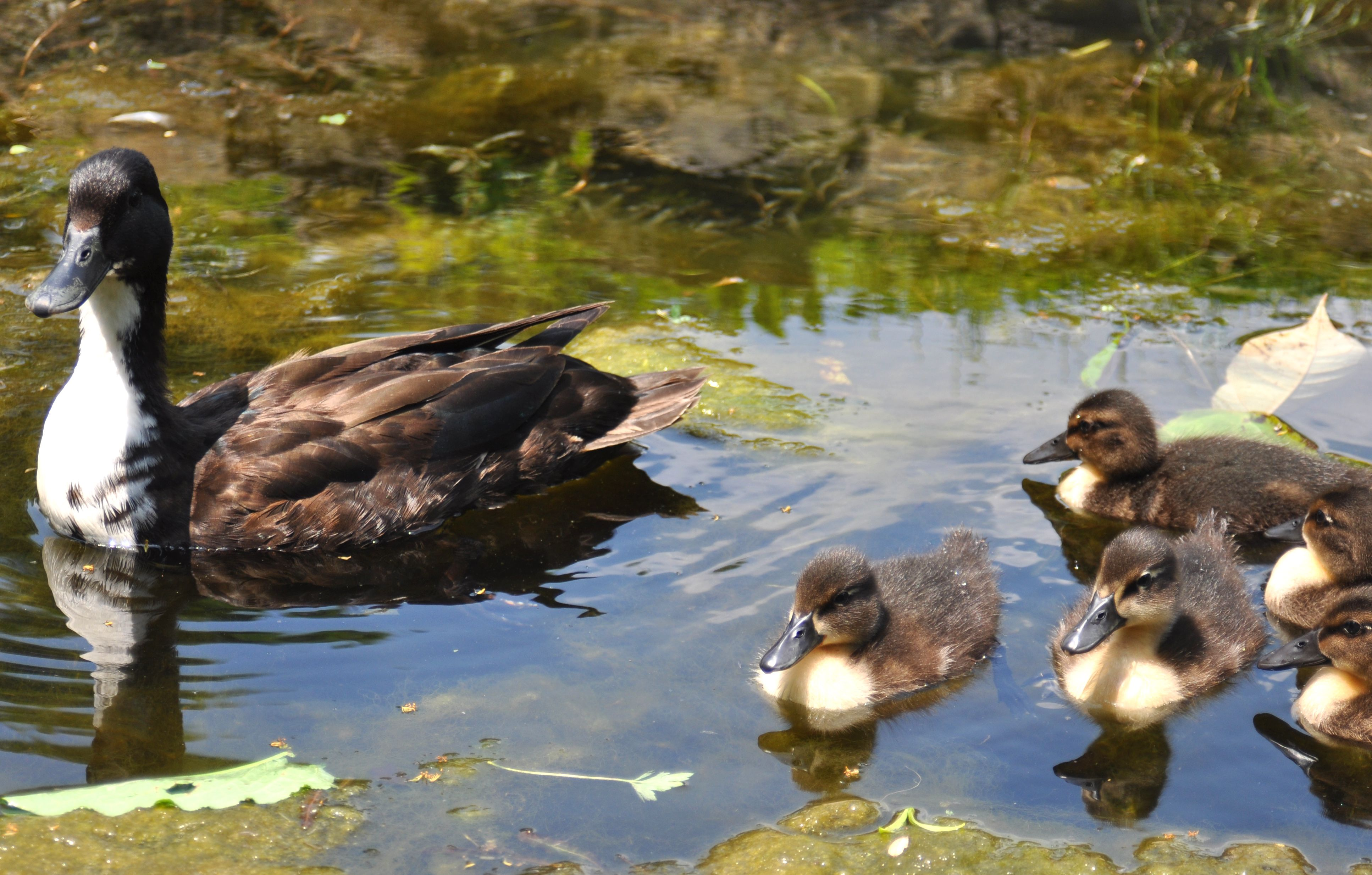 Mama and Ducklings :)