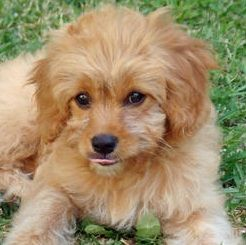 Teacup Poodle Chihuahua Mix Chihuahua Poodle Puppies Chihuahua