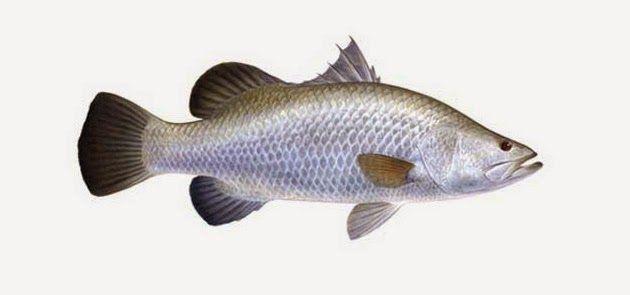 Barramundi Asean Seabass Kakap Putih Fish Sea Bass Animals