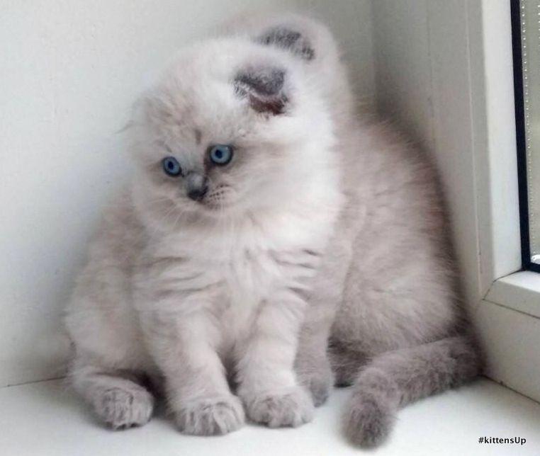 Scottish Fold Cats For Sale North Miami Beach, FL (With