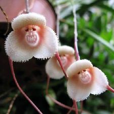 Lot 10/20/30PCS Rare Monkey Face Orchid Seeds Home Garden Beautiful Plant Flower