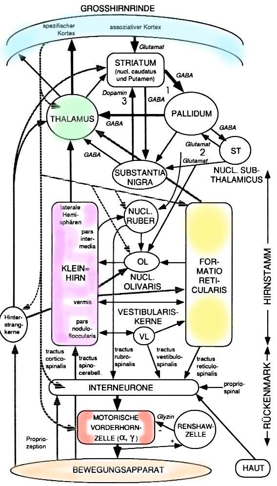 Physiologie: Motorische Funktionen des Hirnstamms | Medizin ...