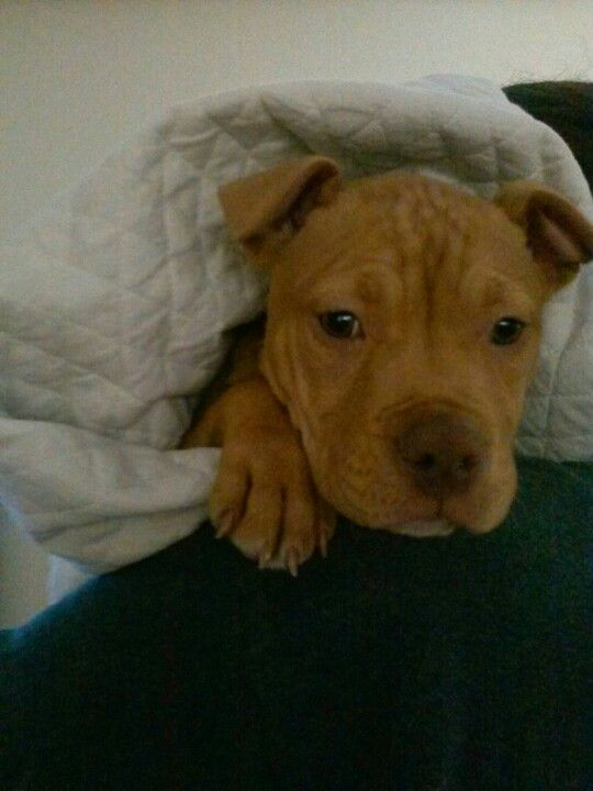 10 Week Old Female Red Nose Pitbull Puppy Red Nose Pitbull