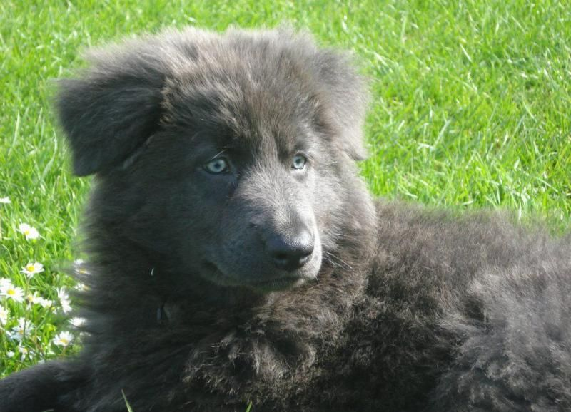 Blue German Shepherd. Beautiful!!!