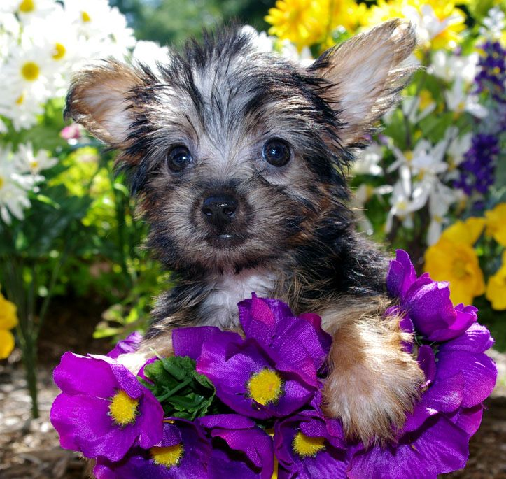 Silky Terrier Girl Born 3 28 13 Silky Terrier Puppy Images