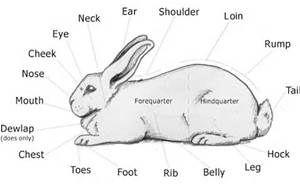 rabbit anatomy - Bing Images | Rabbit anatomy, Show rabbits, ShowmanshipPinterest