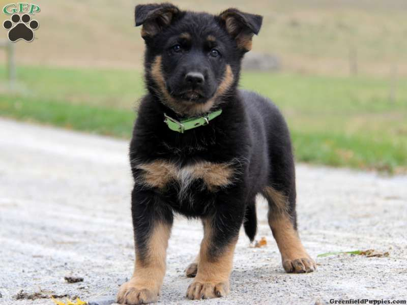 German Shepherd Mix Puppies For Sale Bc Ideas