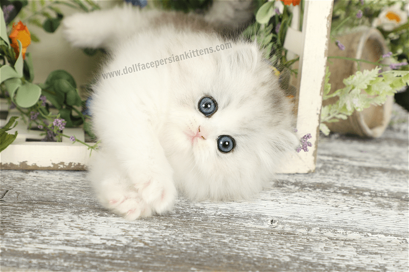 Pin By Doll Face Persian Kittens Ww On Cats And Kittens In 2020 Cats And Kittens Pets Kittens