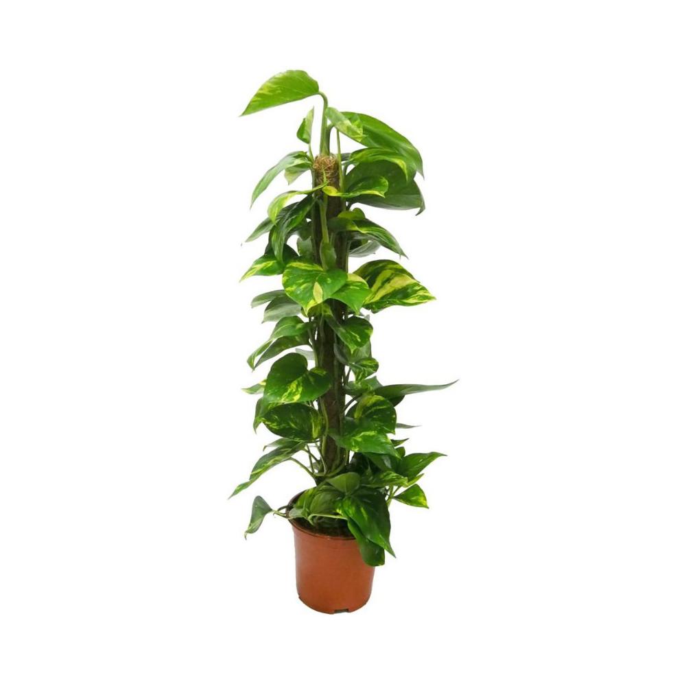 Kluzja 30 Cm Kwiaty Doniczkowe W Atrakcyjnej Cenie W Sklepach Leroy Merlin Plants 30th