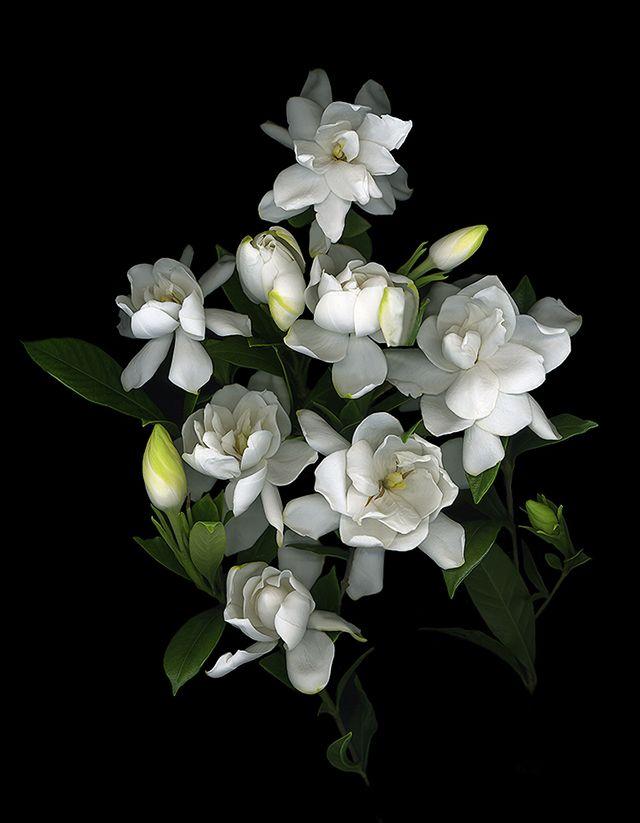 gardenia garden of eden pinterest gardenias flowers. Black Bedroom Furniture Sets. Home Design Ideas