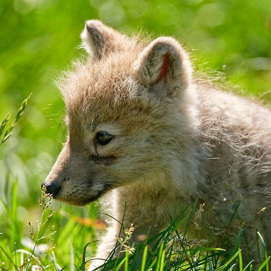 Just smelling the flowers _ Arctic Wolf Pup
