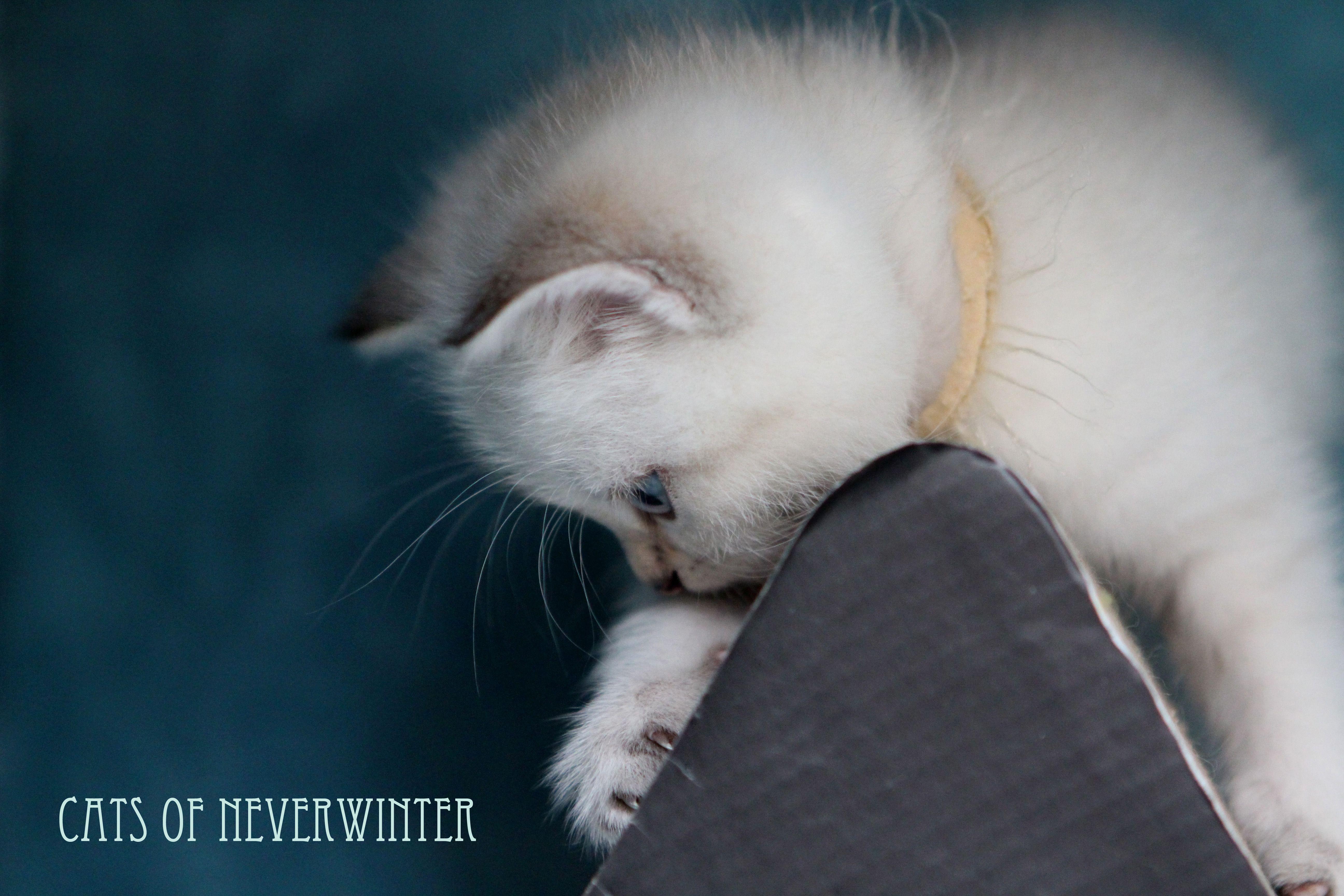 Our British Shorthair Kittens From Gaia Stars Stud From Feline Magic Georgie Porgie Puddin British Shorthair Kittens British Shorthair Kittens