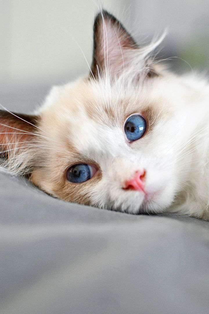 Top 25 Awesome Ragdoll Cat Names Ideas Cute Cats Cute Cats And Kittens Gorgeous Cats