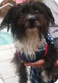 Poodle Miniature Maltese Mix Dog For Adoption In Parker Ford
