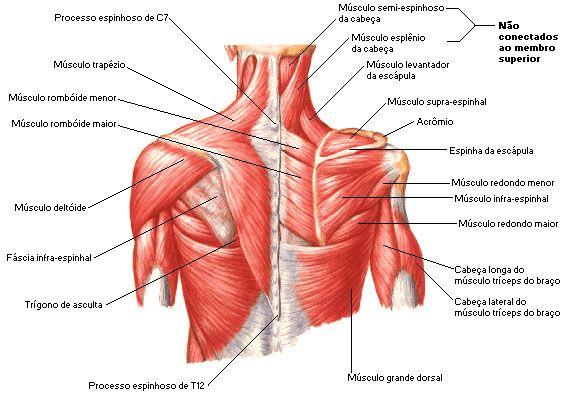 Aula de Anatomia | Ombro | Corpo humano | Pinterest