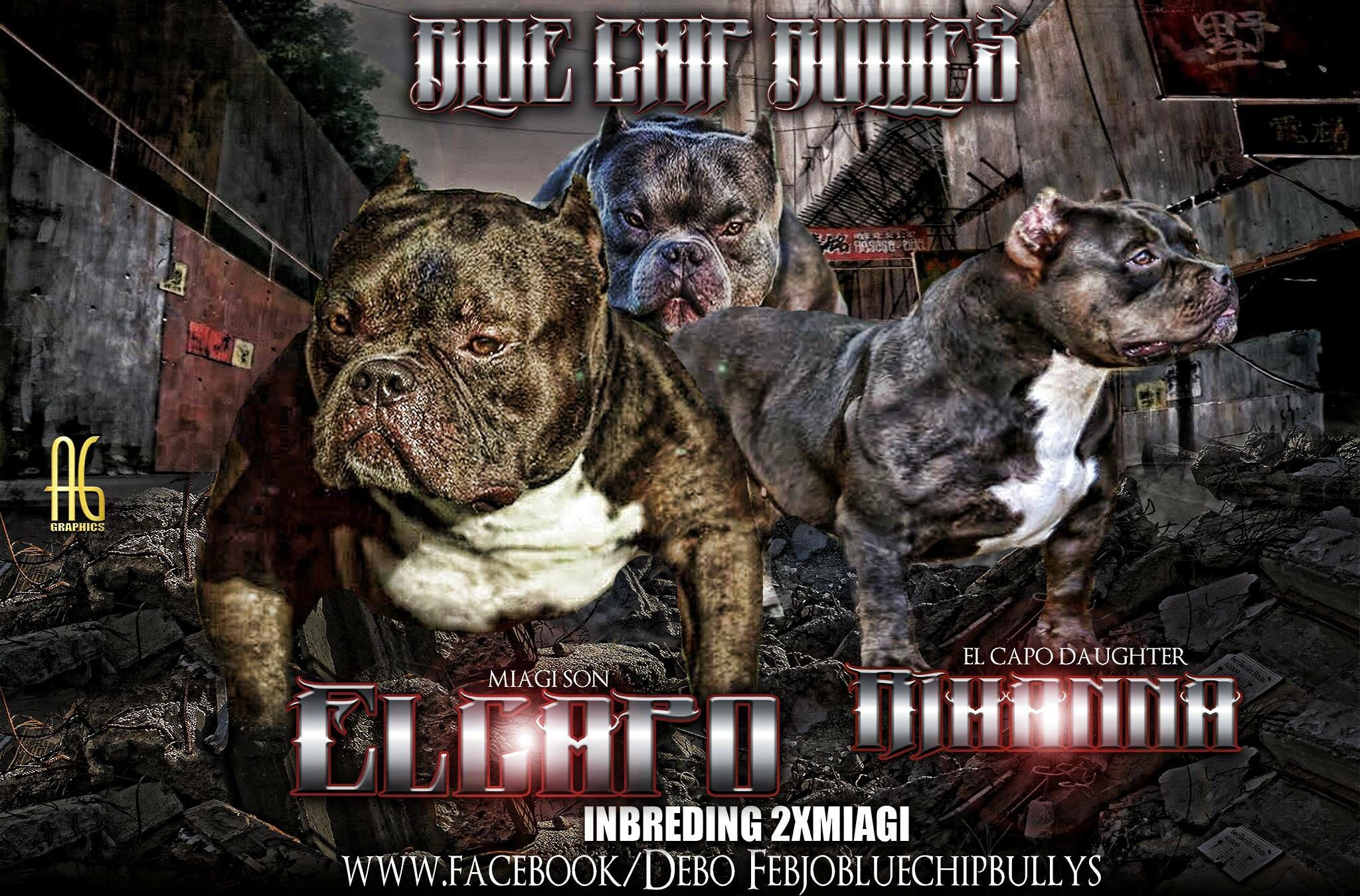 Americanbully Puppies Coming Soon Bully Breeds Dogs Bully Dog