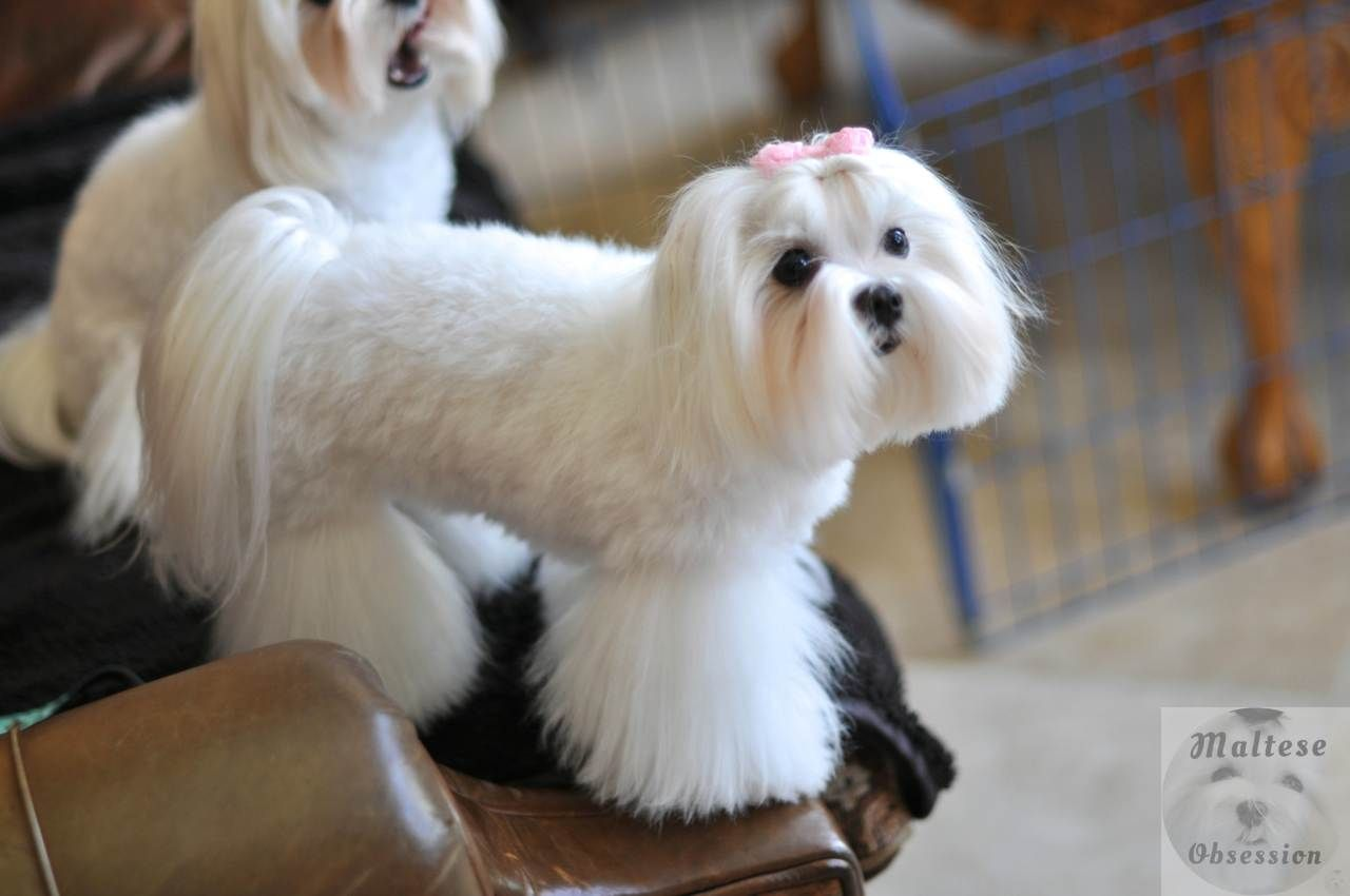 Dsc 0868 Jpg 1280 850 Teacup Puppies Maltese Maltese Dogs