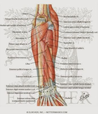 Anatomy Arm Nerves | Anatomy Picture Reference and Health News ...