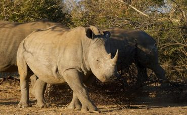 Prevent the Legalization of Rhino Horn Sale PETITION - Care2 News Network