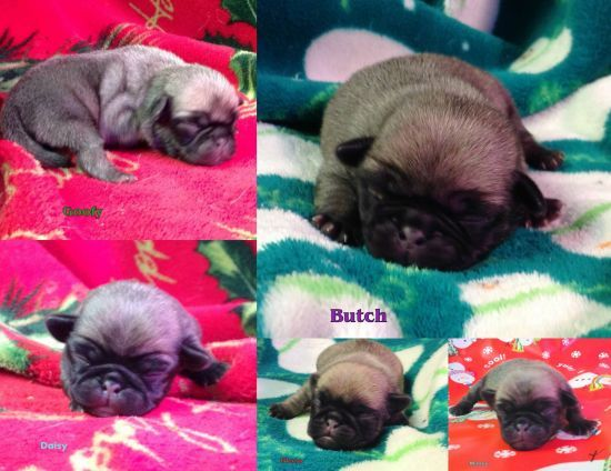 Pug puppys Ready to go home Feb 8 2015 Valentines Presents :)