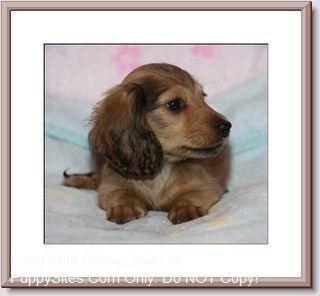 Louie S Dachshunds Miniature Dachshunds Dachshund Pure Breed Dogs