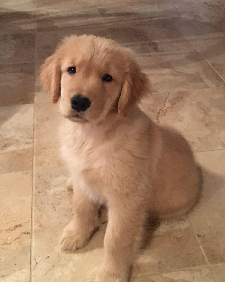 Callie Golden Retriever Pup Classic Look Golden Dog Dogs