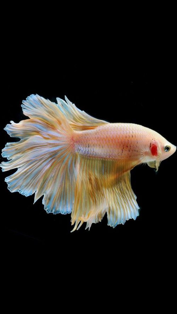 Apple Iphone 6s Wallpaper With Blue Betta Fish In Dark Background In 750x1334 Hd Wallpapers Wallpapers Download High Resolution Wallpapers Betta Fish Betta Fish