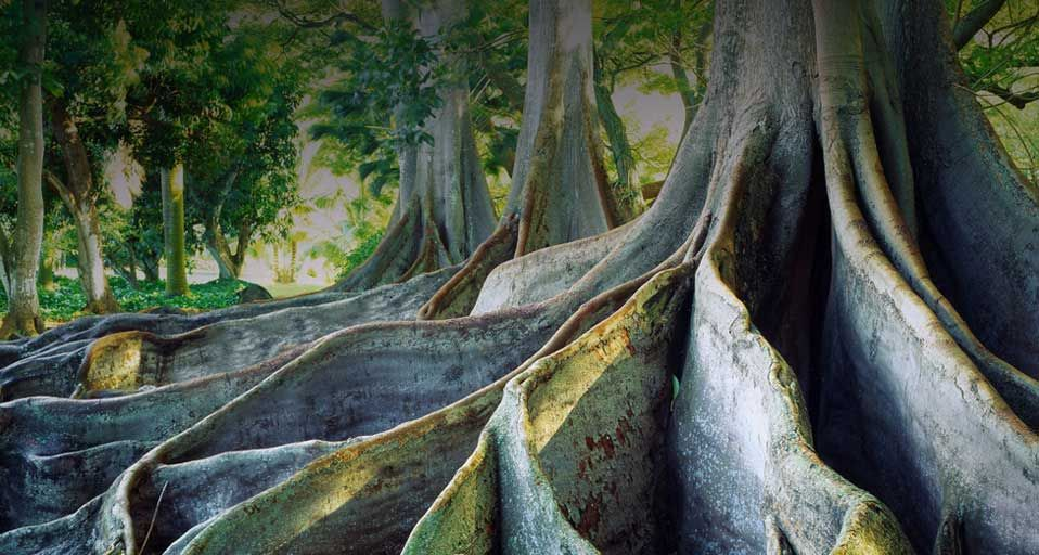 Giant ficus trees at the national tropical botanical - National tropical botanical garden kauai ...