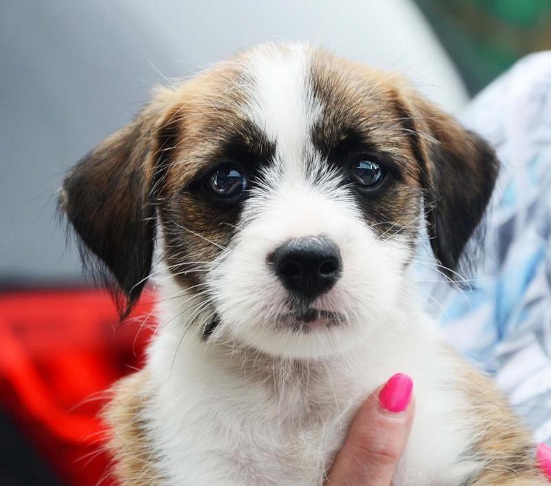 Adopt caleb cordette on petfinder shih tzu dog swedish