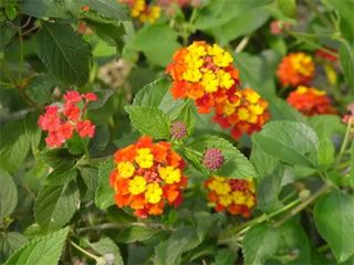Lantana Radiation Beautiful Lantana Cultivar With Orange And Yellow Flowers Mid Summer To Fro Backyard Flowers Beds Flower Garden Images Deer Resistant Garden