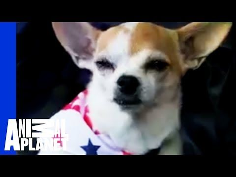 Chihuahua Dogs 101 Youtube In 2020 Chihuahua Breeds