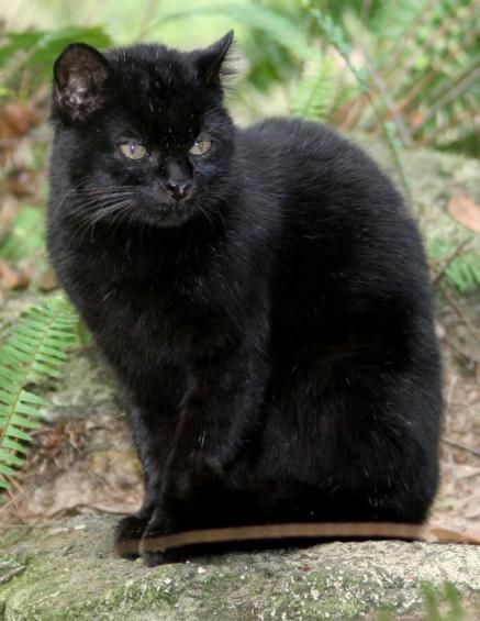 Rare black Geoffroys cat - the black color being caused by Melanism, which is a development of the dark-colored pigment melanin in the skin or its appendages and is the opposite of albinism.