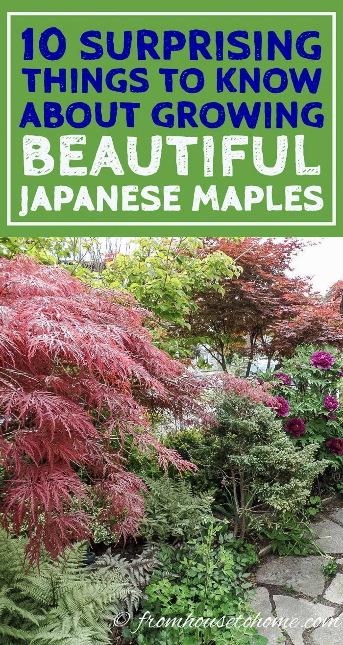 10 Surprising Things About Growing Beautiful Japanese Maples - Gardening @ From House To Home