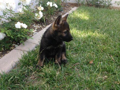 Litter Of 6 German Shepherd Dog Puppies For Sale In Escondido Ca