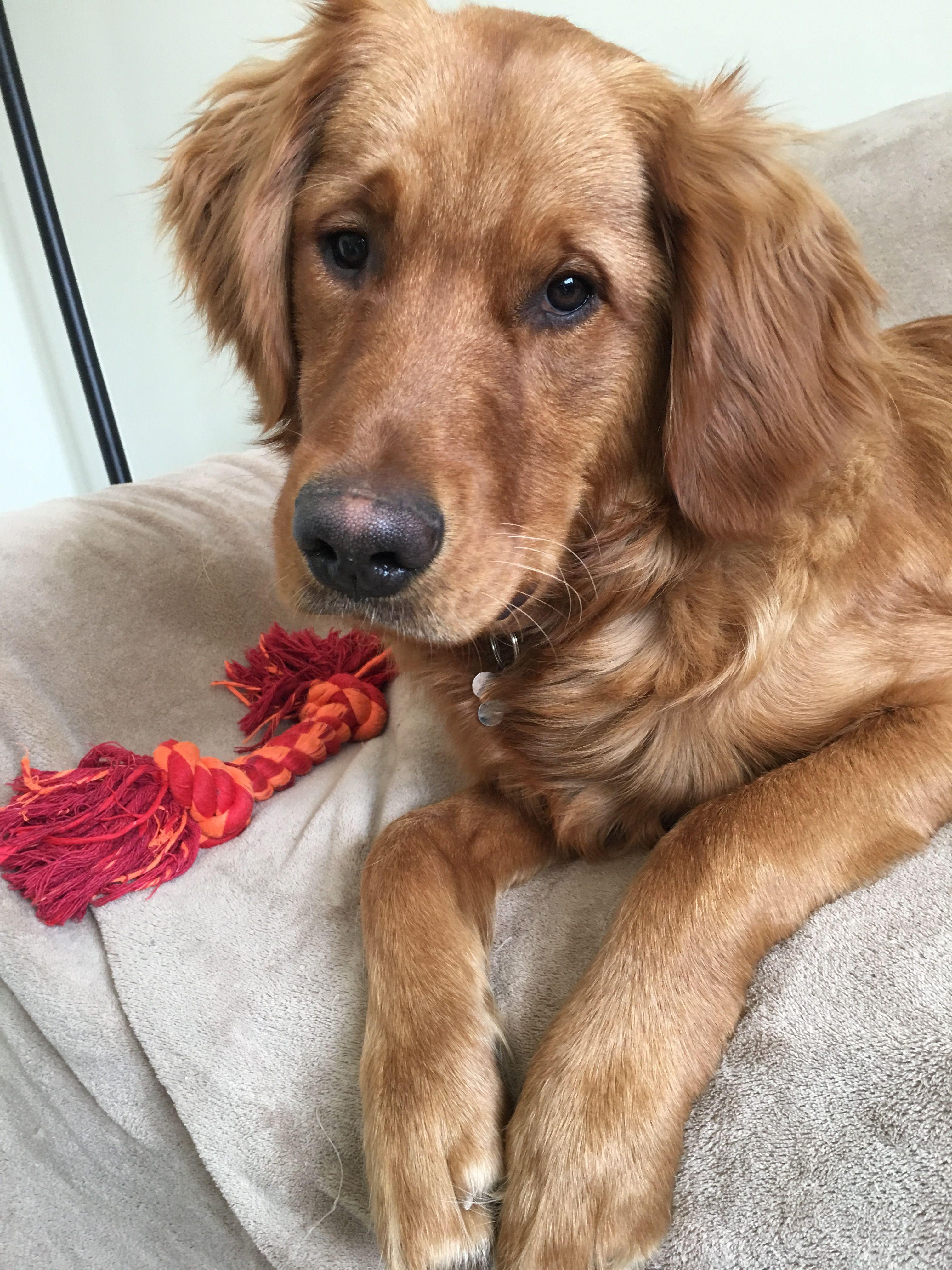 Brinkley The Golden Retriever Golden Retriever I Love Dogs
