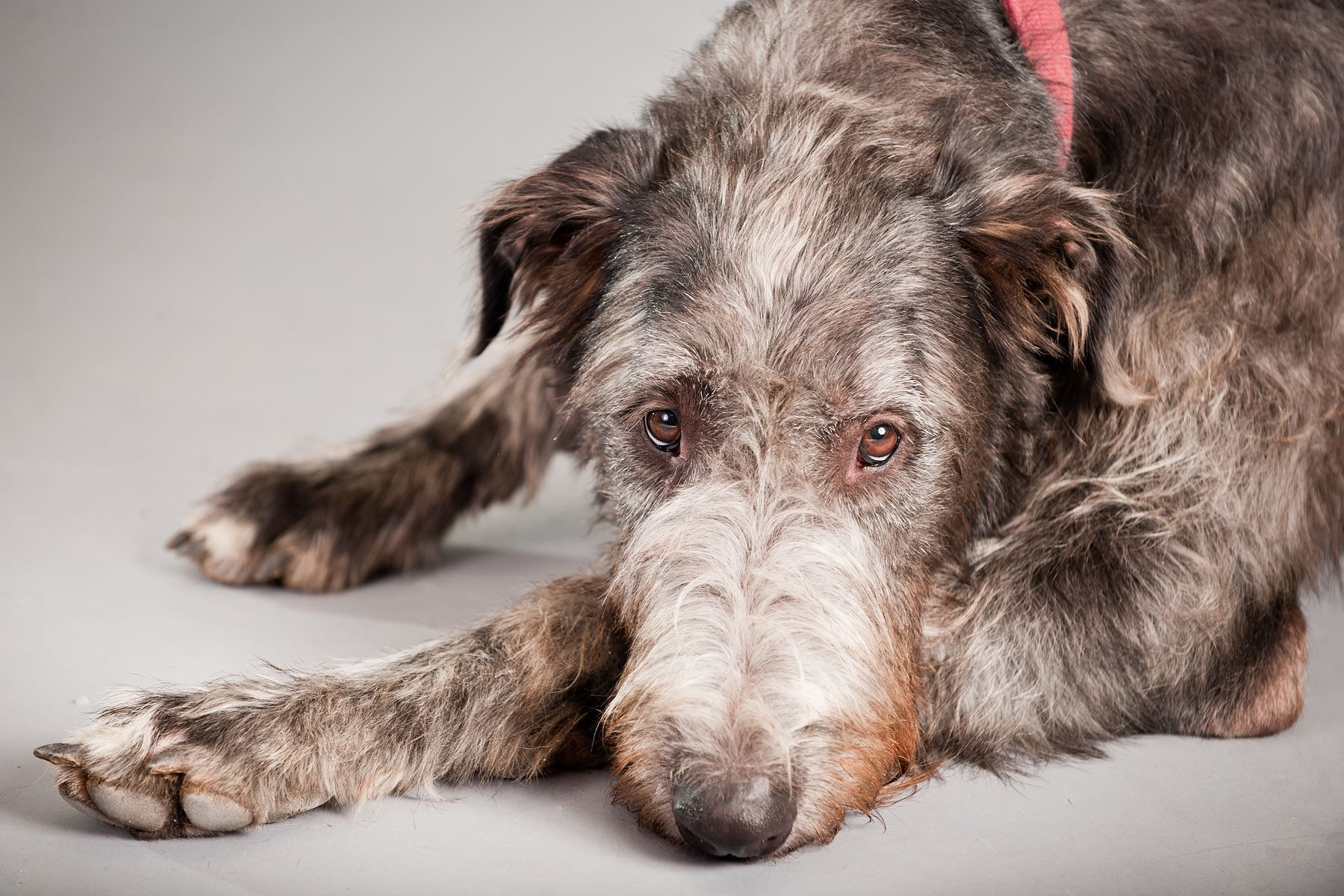 Irish Wolfhounds are sighthounds, the tallest breed of