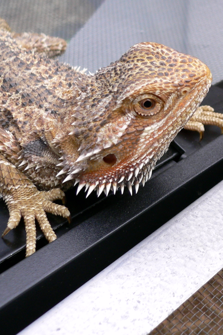 10 Facts You Never Knew About Bearded Dragons | Dragons ...