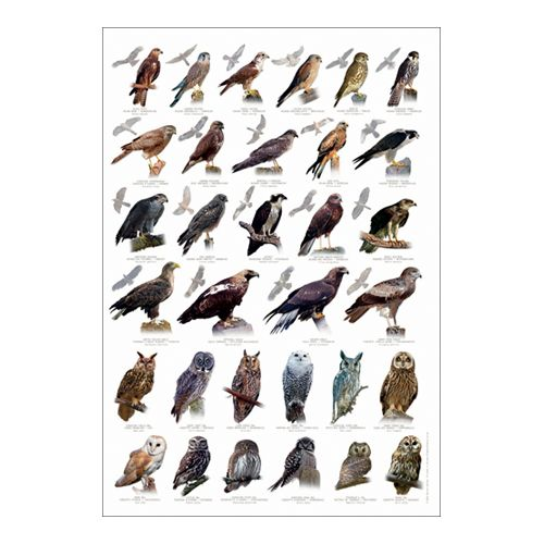 Birds Of Prey Poster Learning Poster Educational Toys Eco Friendly Poster Birds Of Prey Uk Birds Of Prey Pet Birds