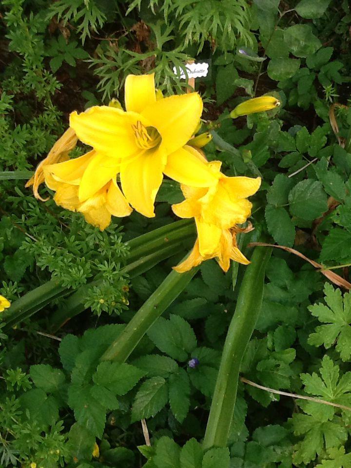 Upea keltainen päivänlilja. Rantapenkissä laiturin vieressä.