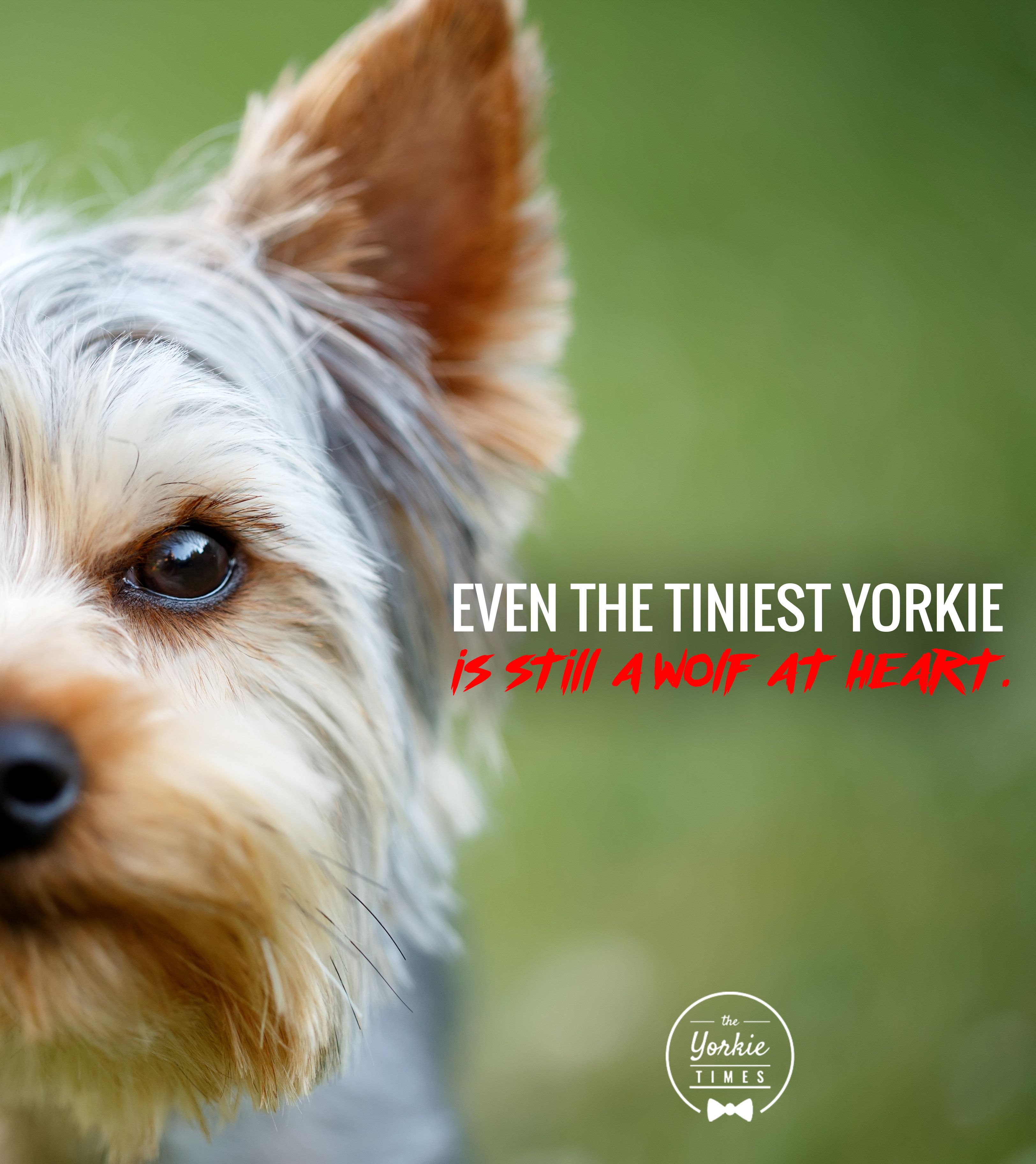 Heart Of A Wolf Yorkie Lovers Yorkie Yorkie Dogs