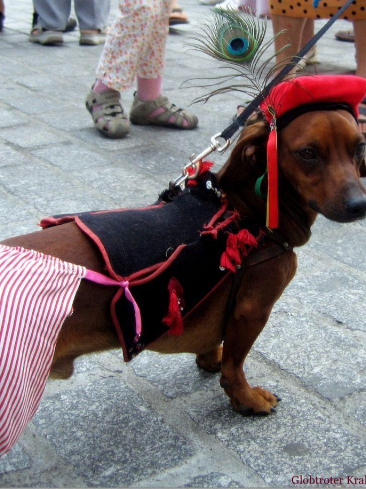 March Of Dachshunds Krakow Poland Dachshund Dog Clothes