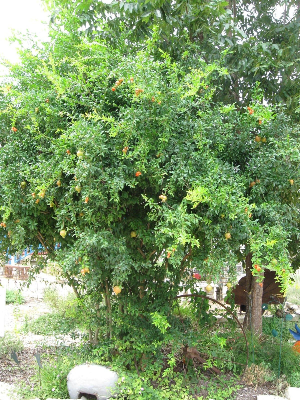Basic Fruit Trees for Central Texas and Simple Tips to