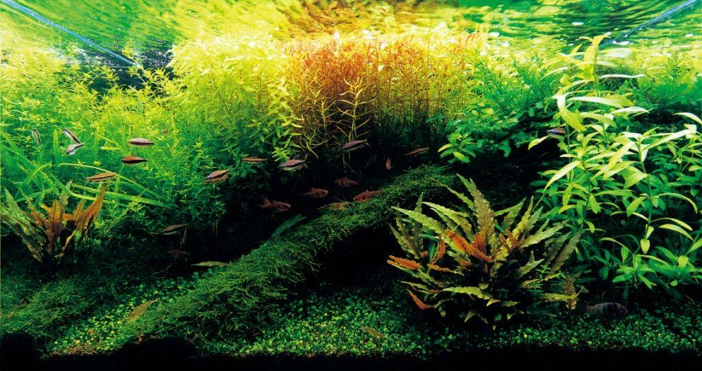How to deal with aquarium algae nature aquarium planted